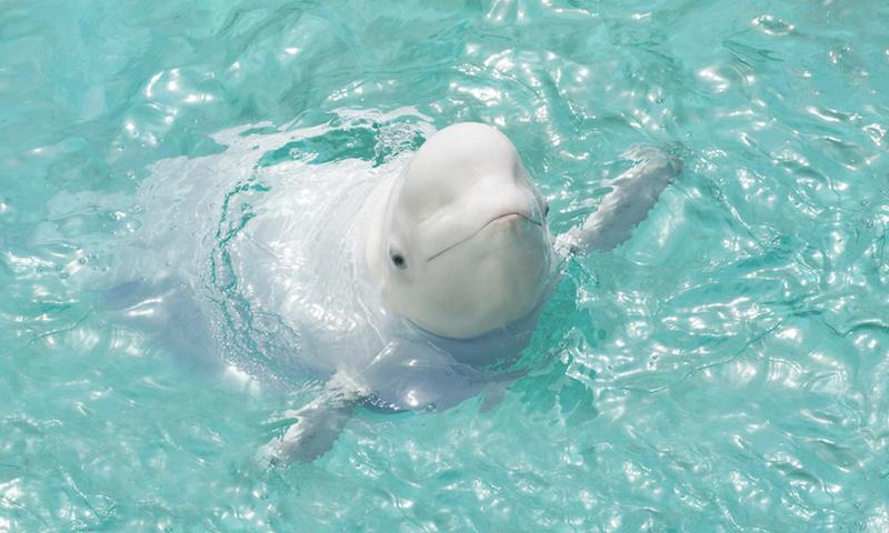 可愛い表情の白イルカ