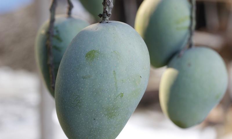 マンゴーの栽培